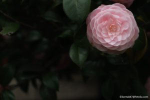 Camellias are another shrub that should not be pruned now or before it blooms again.