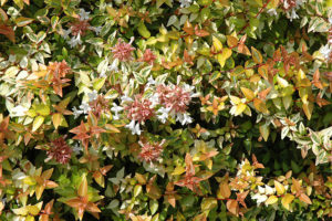 "Abelia ""Kaleidoscope"" provides major foliage impact year round and ultimately attains a height of just over two feet. The variegated foliage on red stems will grab the attention of any passerby."