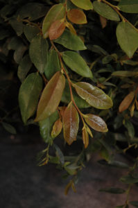 "Distylium ""Linebacker"" is an evergreen shrub reaching 8-10 feet in height"