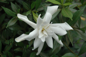 Frost Proof Gardenia is cold hardy to Zone 7, and its flower buds are also frost resistant. It has an upright form, and ultimately reaches five feet in height.