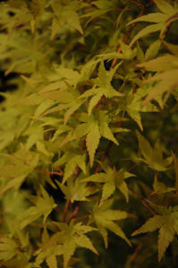 "Japanese Maple ""Ryusen"" is a quick growing, weeping tree that reaches 20 feet in height. Its fall foliage ranges from yellow, to orange, to red."