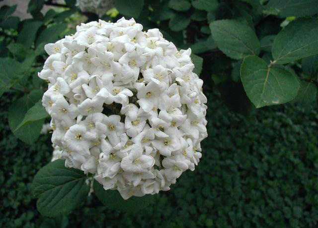 Snowball Viburnum has been grown in gardens for over 500 years.