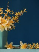 Forsythia Branches and Daffodils in Vase