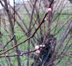 These peach blossoms are opening a month too early. Hopefully, the buds that haven't opened yet will wait until the appropriate time.