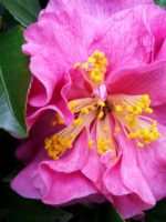 Deadhead camellias as soon as the blossoms fade to discourage blight and other potential diseases.