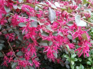 Loropetalum blooms in early spring, and has already burst into bloom here in lower Zone 7.