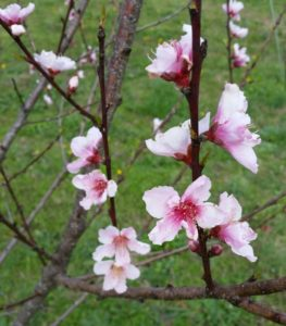 This is either an apricot or a peach, but the blossoms that froze during the recent cold weather were quickly replaced by new ones along the branches, closer to the main trunk of the tree.