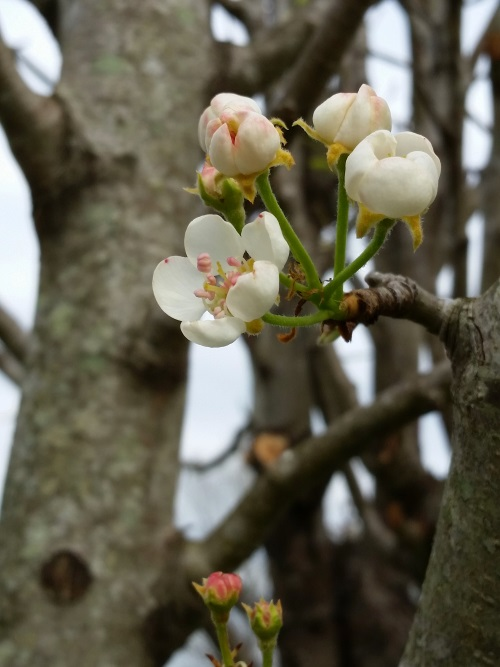 Pear blossoms are like tiny little lotuses, only on a tree.