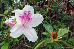 Deadhead the azaleas, clean up any dead flowers or leaves, and then get ready to prune once they finish blooming.
