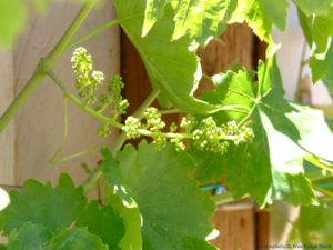 It won't be too long before the grape leafbuds burst open.