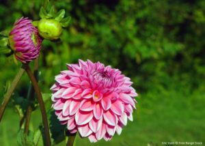 Dahlias love as much sun as you can give them.