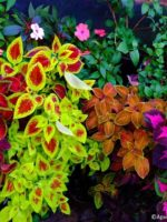 Coleus and Impatiens.