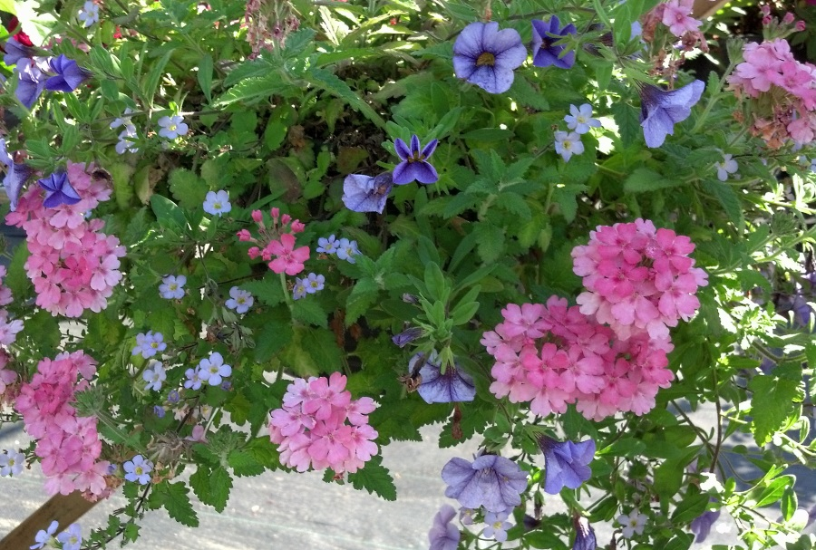 Hanging basket and container plantings require a little extra attention to thrive, especially during our long hot summers.