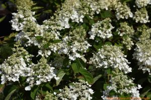 Baby Lace resembles an H. macrophylla lacecap, but is actually an H. paniculata cultivar.