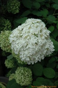 "The H. arborescens cultivars known as Incrediball, shown here, and Incrediball Blush are improvements on the H. arborescens ""Annabelle"" in that they have larger, more densely packed flower heads."