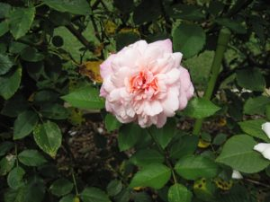 This rose has a bit of blackspot, and could likely use some pruning to improve air circulation.