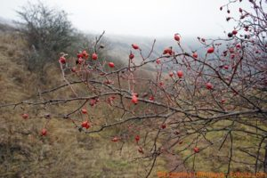 If you're lucky enough to have rose bushes that produce rosehips, stop deadheading now so that you'll have winter beauty.